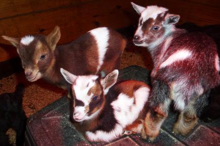 Timberhills Goat Kids